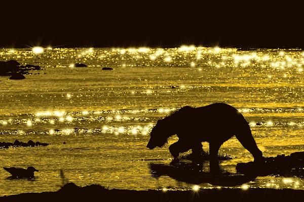 Brown bear searching salmon in evening