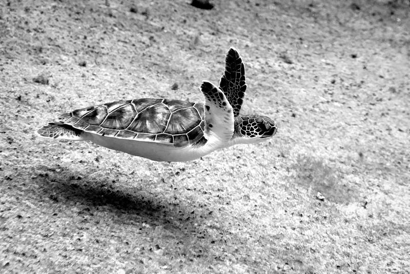 Sea turtle swimming black and white
