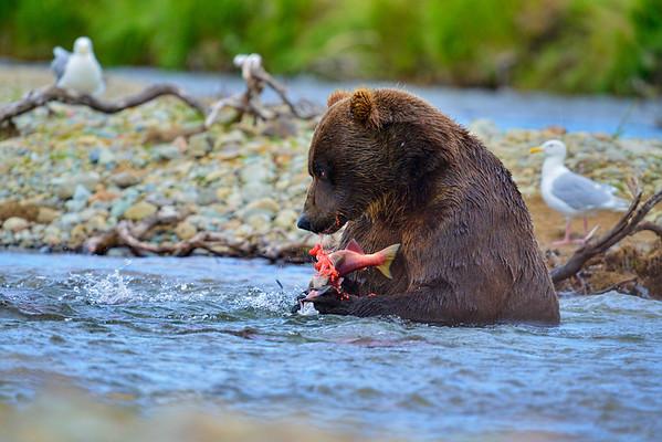 Big brown bear eating salmon in stream