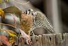 American Kestrel eating mouse