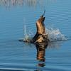 Brown pelican diving or food