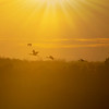 Ibsis flying in to roost as sun sets