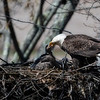 Bald eagle feeding eaglet in nest