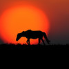 Wild horse walking in front of sun  paintography