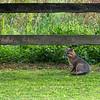 Grey fox sitting by fence near farm