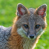 Close up grey fox looking intent paintography