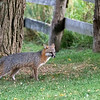 Grey fox by tree