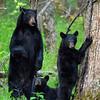 Family of black bears