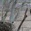 Bald eagle sitting in tree near nest