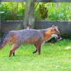Grey fox licking his chops paintography