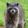 Raccoon washing his hands and laughing