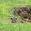Raccoon barely peering over edge