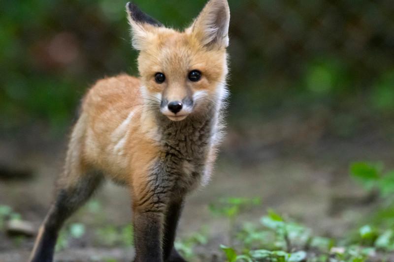Young red fox kit closeup