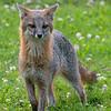 Grey fox staring straight ahead