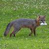 Grey fox proud his marshmallow catch