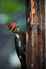 Pileated woodpecker on post looking for food