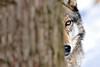 North American gray wolf behind tree