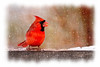 Male cardinal eating in the snow
