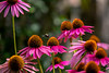 Purple cone flowers with bumble bee