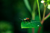 fluorescent beetle on a leaf crawling