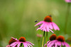 Purple cone flowers with bee