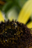 Bee in close on the sunflower plant