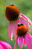 Purple cone flowers with two bumbebees