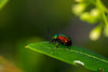 fluorescent beetle on a leaf