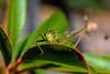 Grasshopper on a leaf