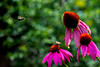 Purple cone flowers with bumbebee