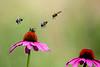 Bumbebee landing and flying off purple cone flowers