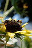 Honey bee and sweat bee on the sunflower