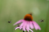 Purple cone flowers with bees