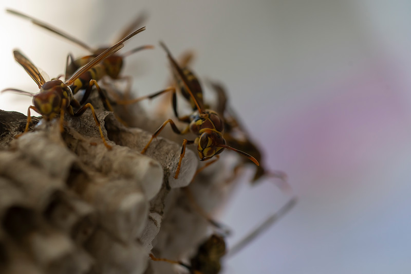 Hornets on a nest climbing around