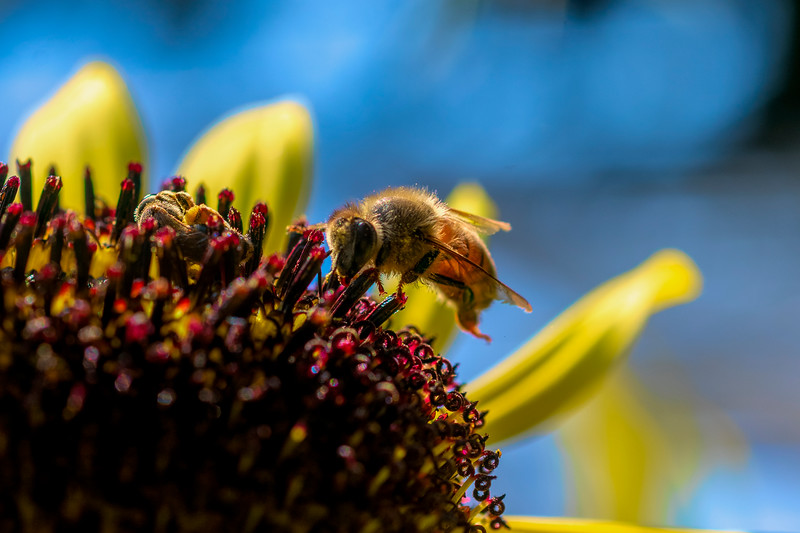 Honey bee digging in to get the nectar