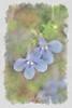 "Flowers<br /> <br /> to purchase - <a href=""http://dan-friend.artistwebsites.com/featured/blue-flowers-dan-friend.html"">http://dan-friend.artistwebsites.com/featured/blue-flowers-dan-friend.html</a>           .................................................................pixel paintography"