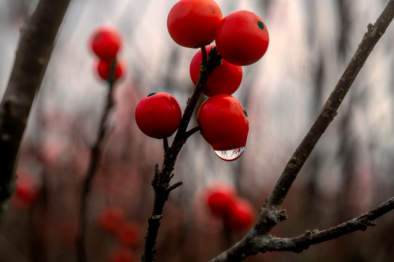 Red berries in the fall