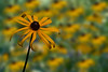 Yellow coneflower in focus in field of flowers