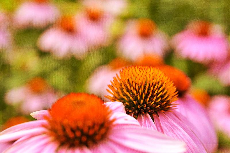 Purple coneflower flowers canvas texture