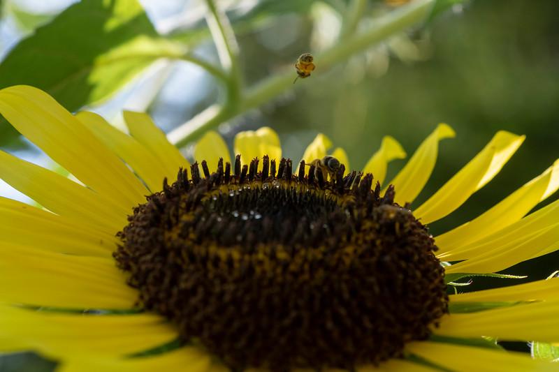 Honey bee hovering over sunflower