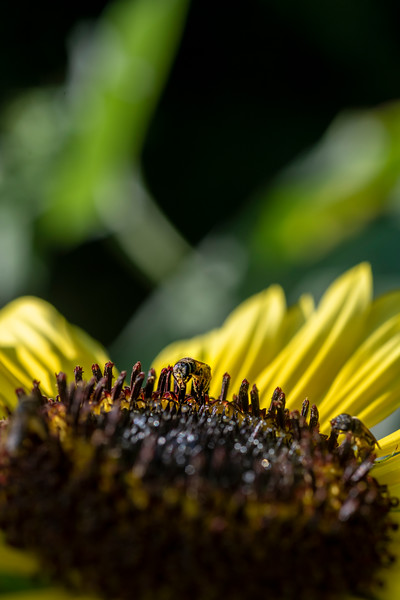 Bee getting nector out of the sunflower