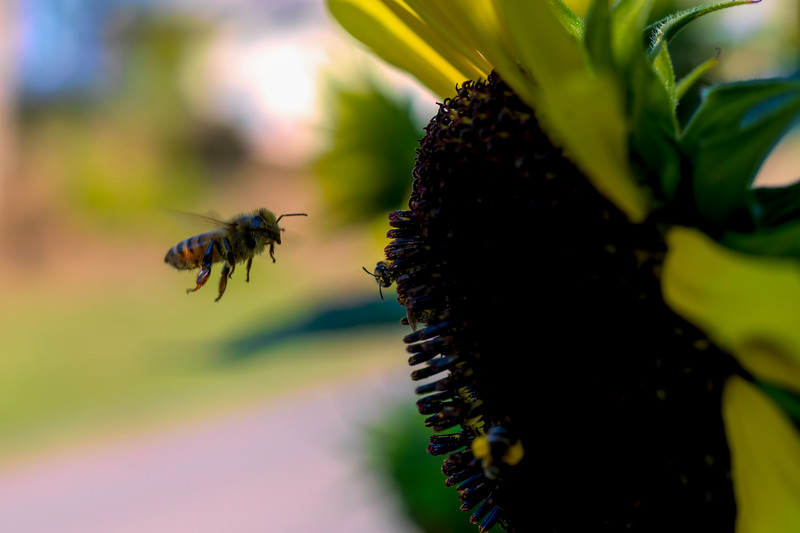 Honey bee flying in to land on the sunflower plant
