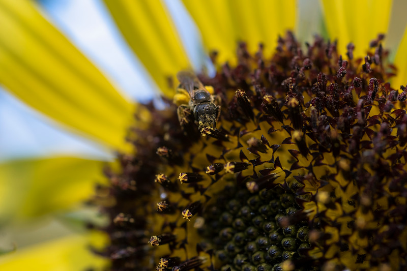 Bees feeding of the sunflower plant