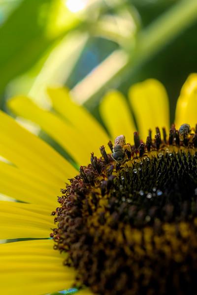 Honey bee on the edge of the sunflower