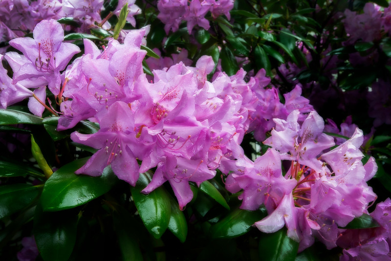Rhododendron flowers bunched up