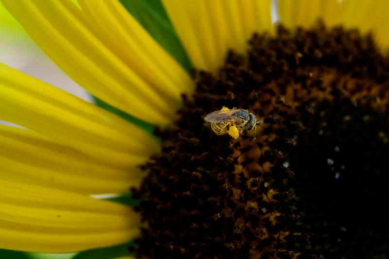 Pollen  on the legs