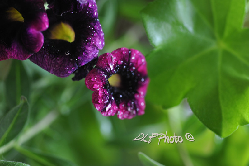 flower with dew ,                                           Prints or digital files can be purchased by e mailing DFriend150@gmail.com