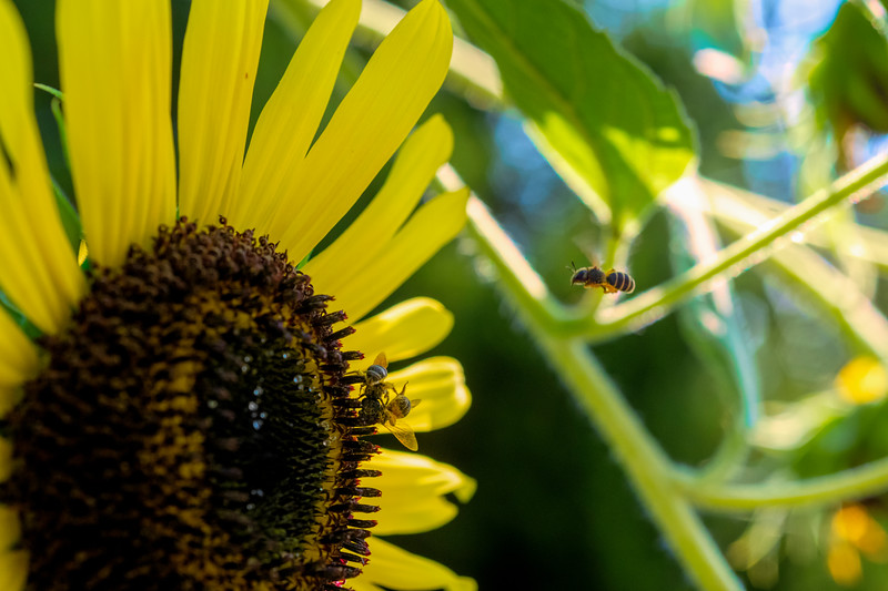 Bees on a sunflower plant