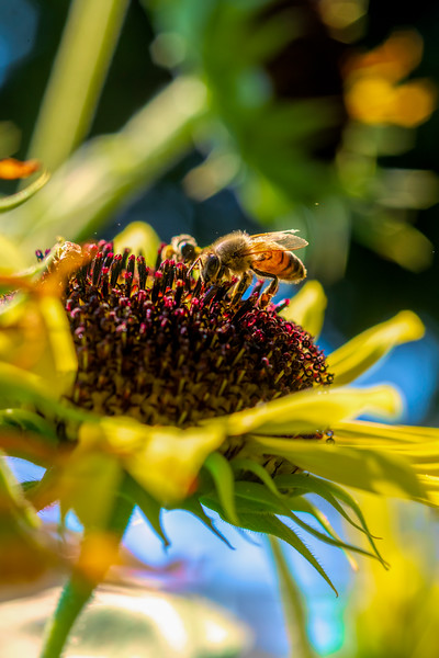 Honey bee digging in to get the nectar on the sunflower plant