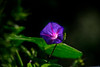 Blue vine flower glowing